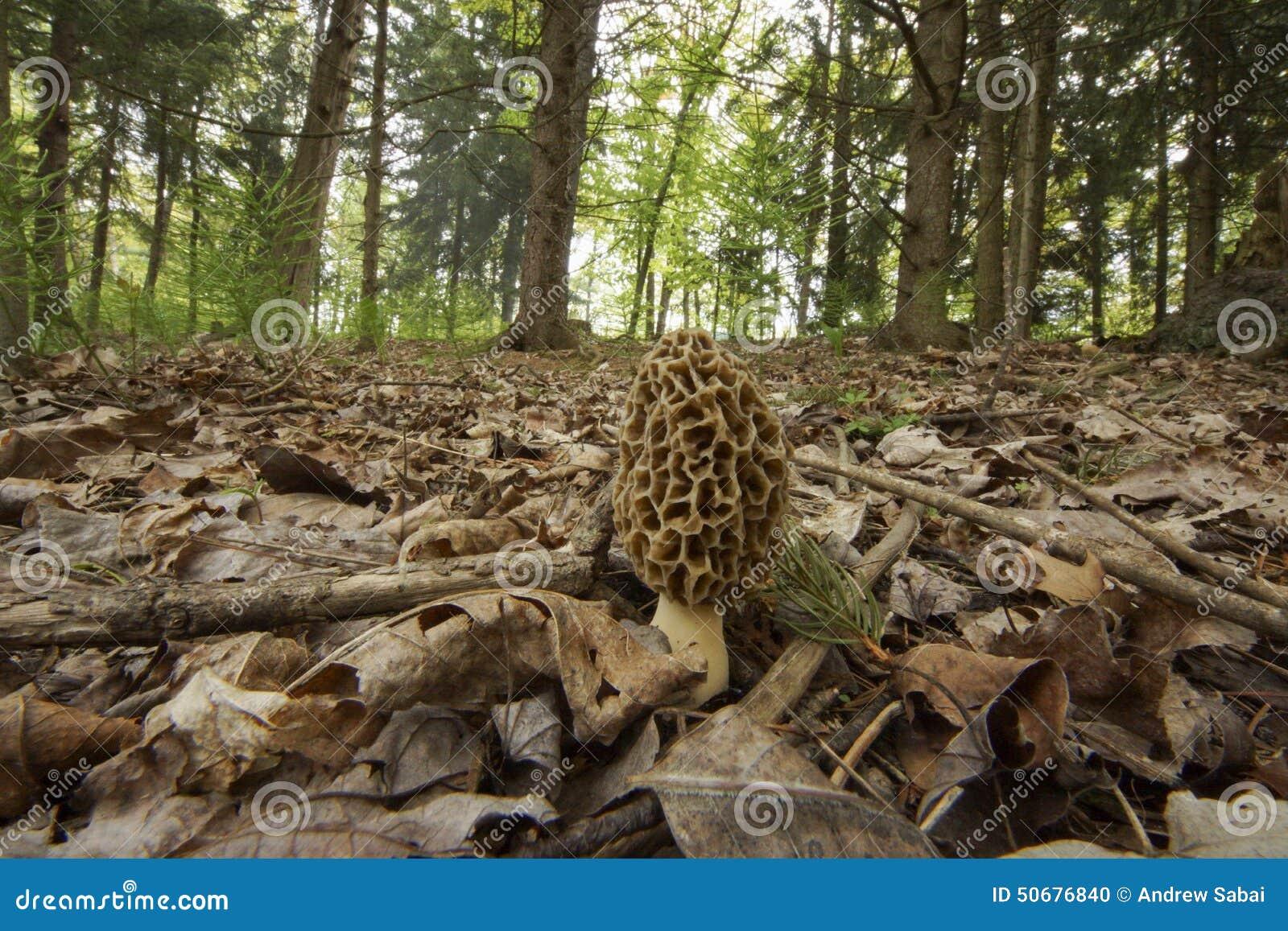 Download 羊肚菌Musroom 库存照片. 图片 包括有 朽烂, 结构树, 羊肚菌, 森林, 火箭筒, 真菌, 公用 - 50676840