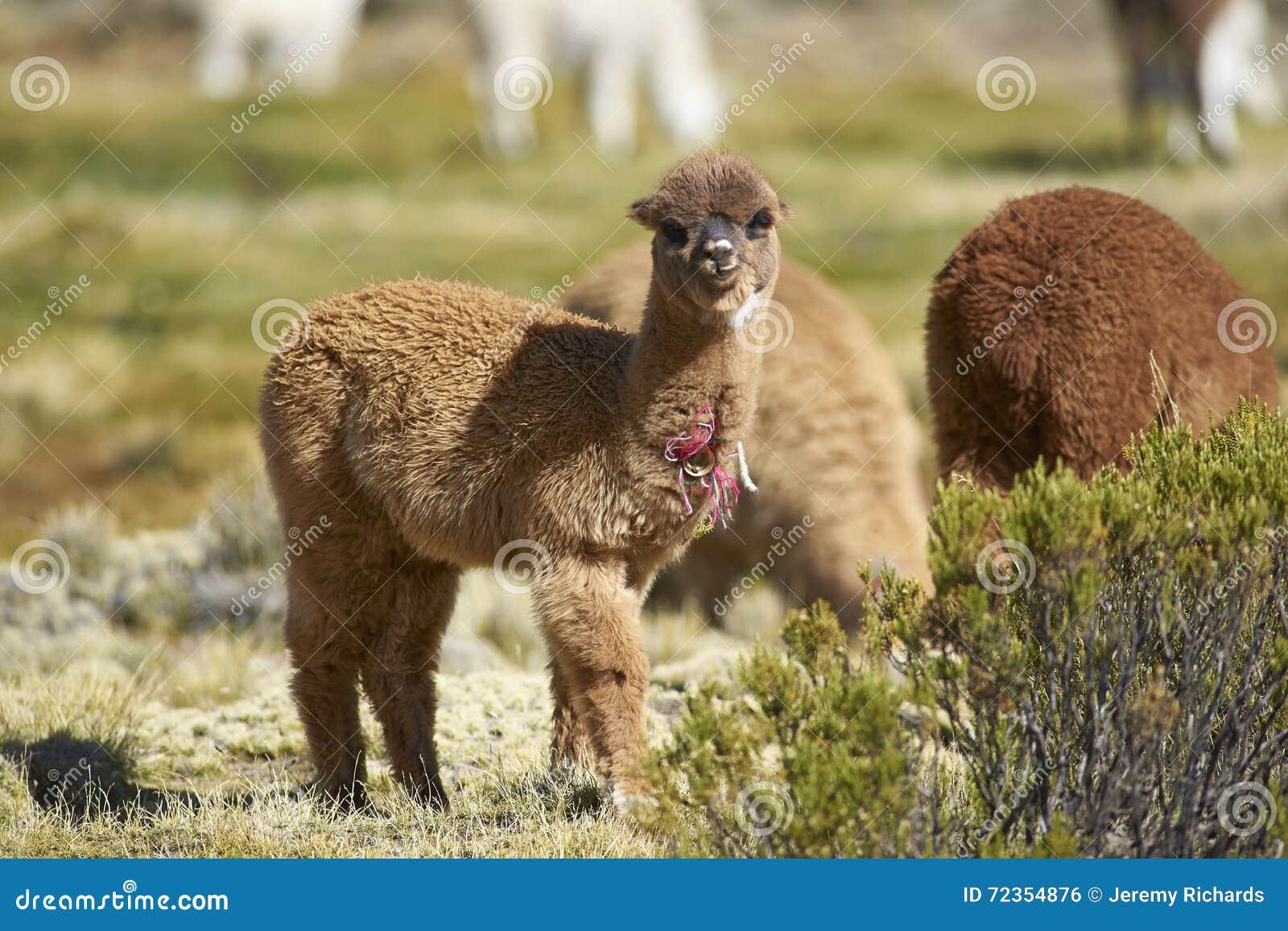 羊魄在Lauca国家公园,智利