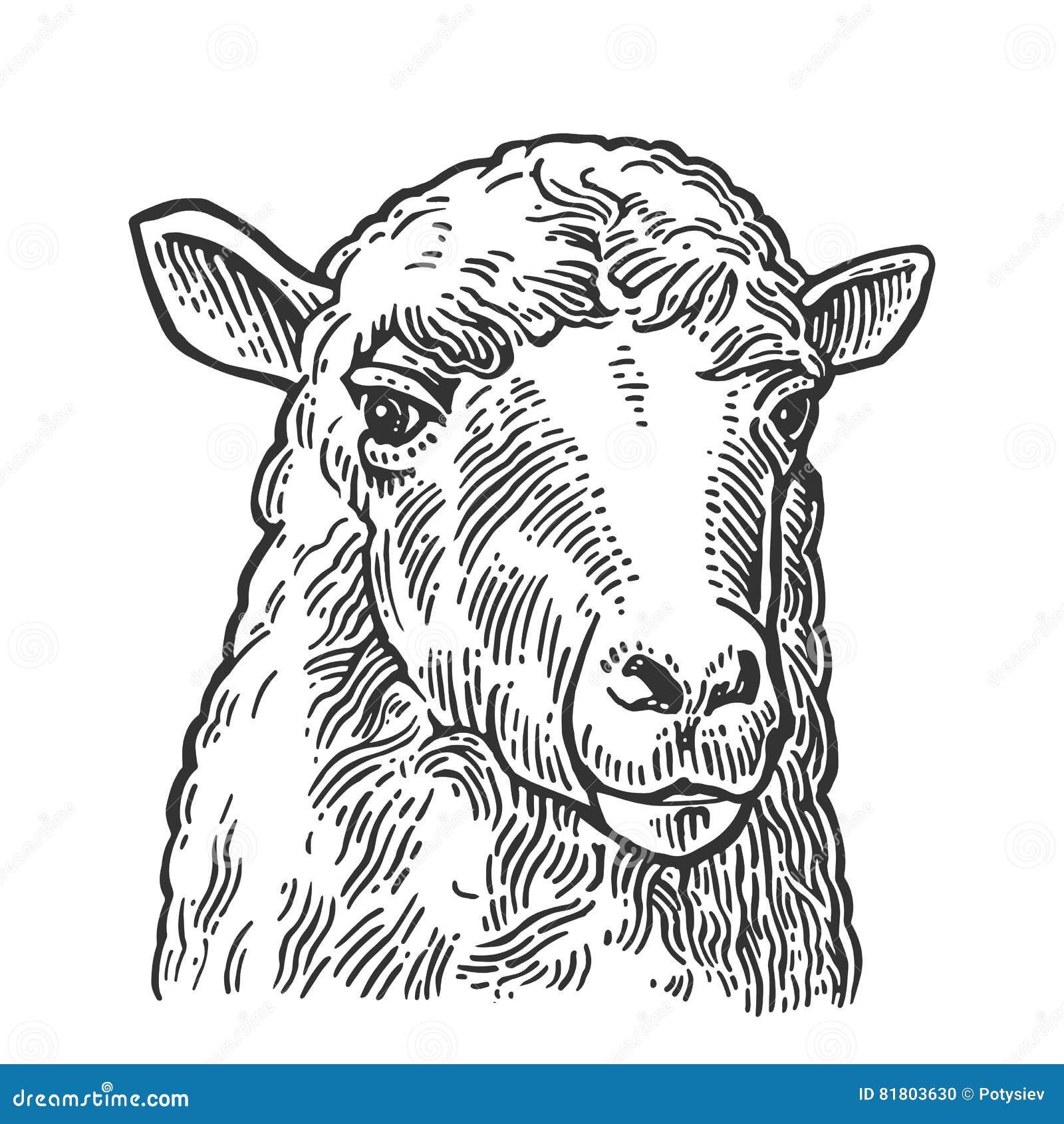 绵羊头 手拉在一个图表样式 葡萄酒信息图表的,海报,网板刻例证 查出在白色