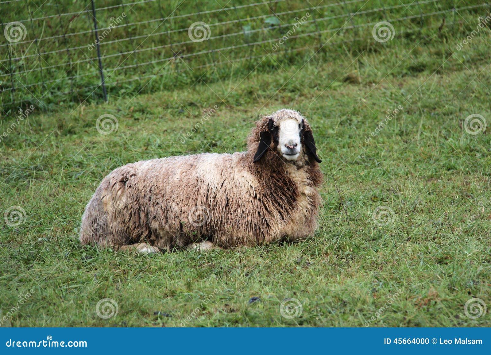 人和绵羊交配_绵羊