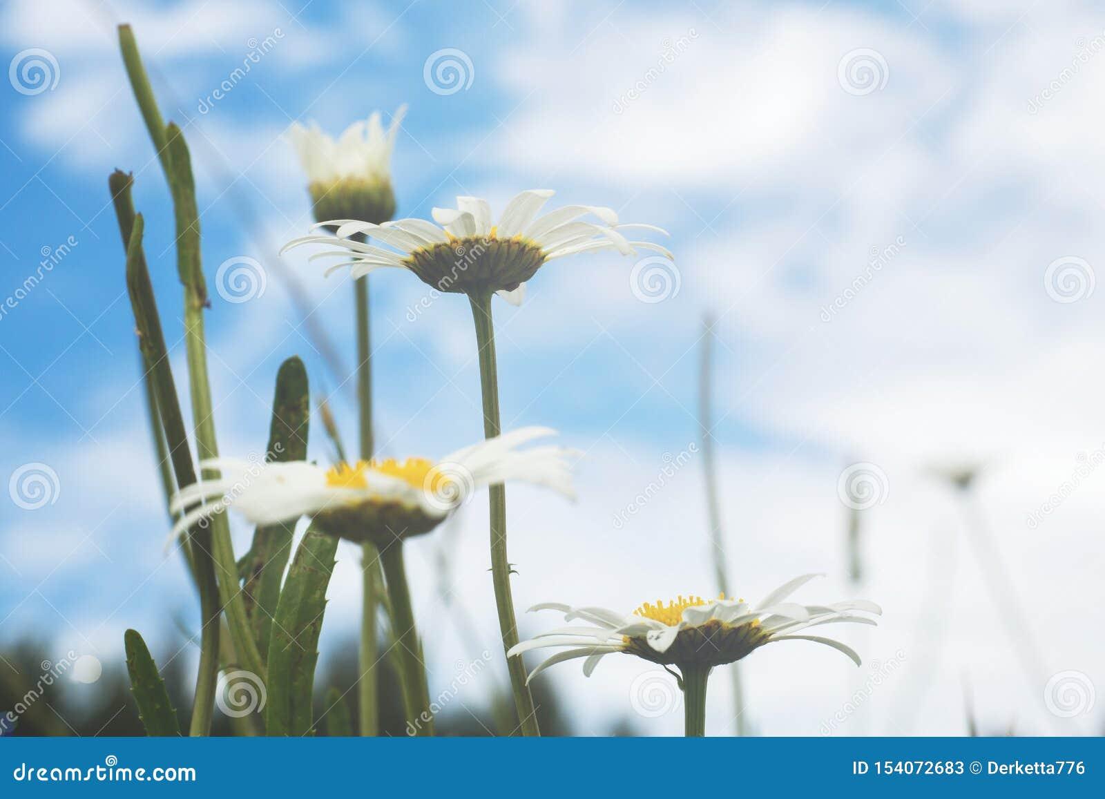 美丽和精美白色春黄菊花在天空蔚蓝背景关闭  r