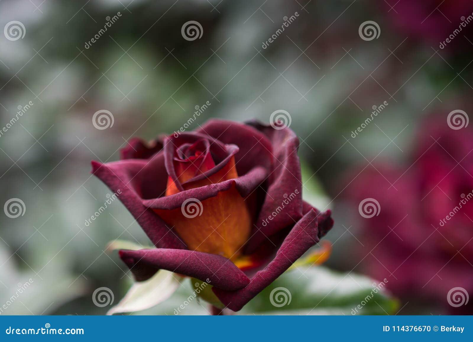 美丽的五颜六色的罗斯花