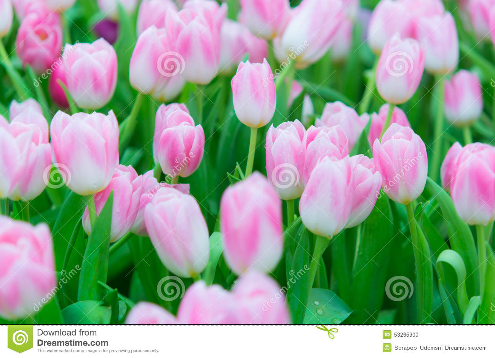美丽的五颜六色的郁金香花