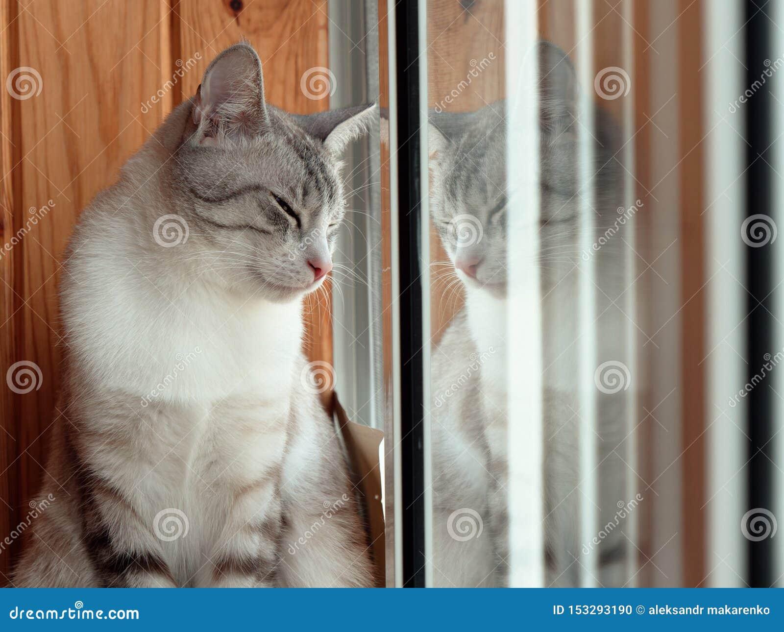 美丽的俄国欧洲猫坐窗台