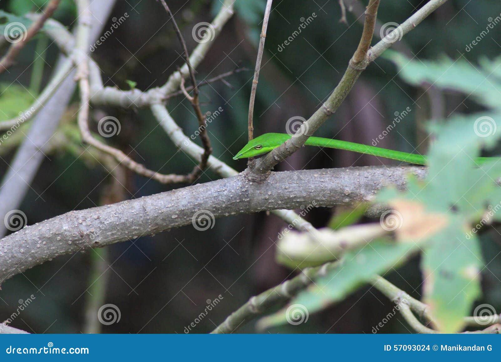 美丽的印地安翠青蛇