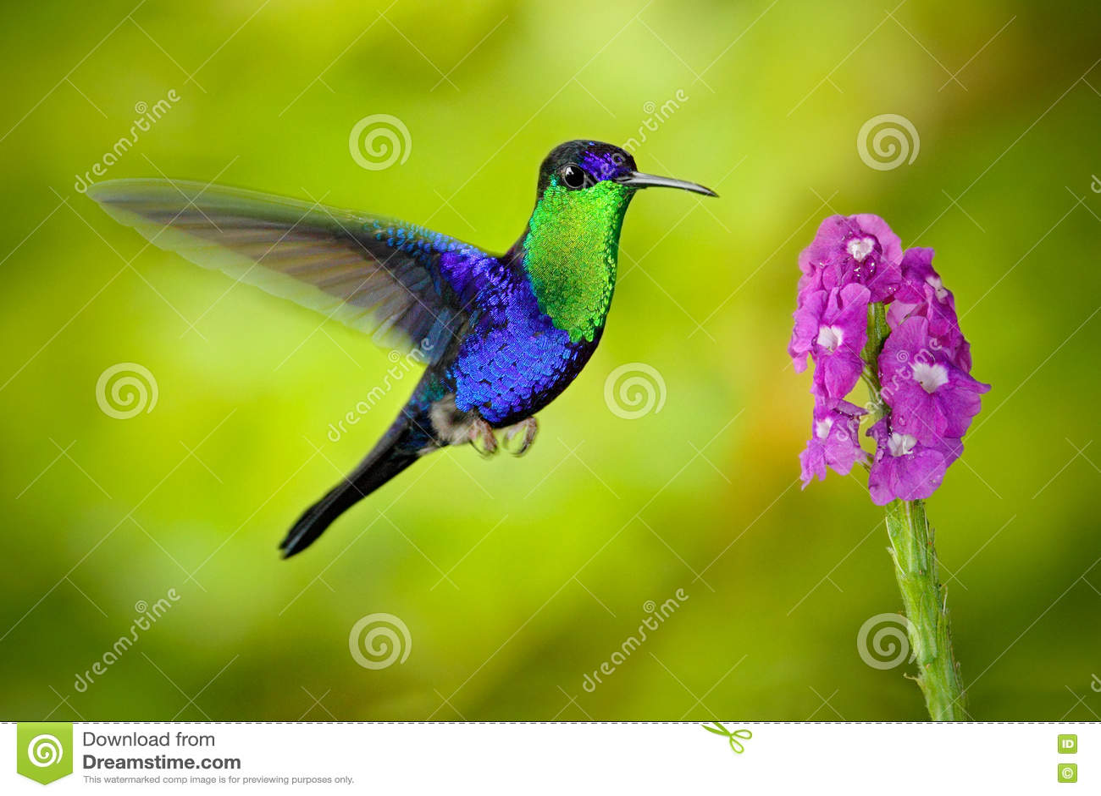 美丽的发光的热带绿色和蓝色鸟,被加冠的Woodnymp, Thalurania colombica,飞行的下位tu变粉红色绽放花,光滑的生命