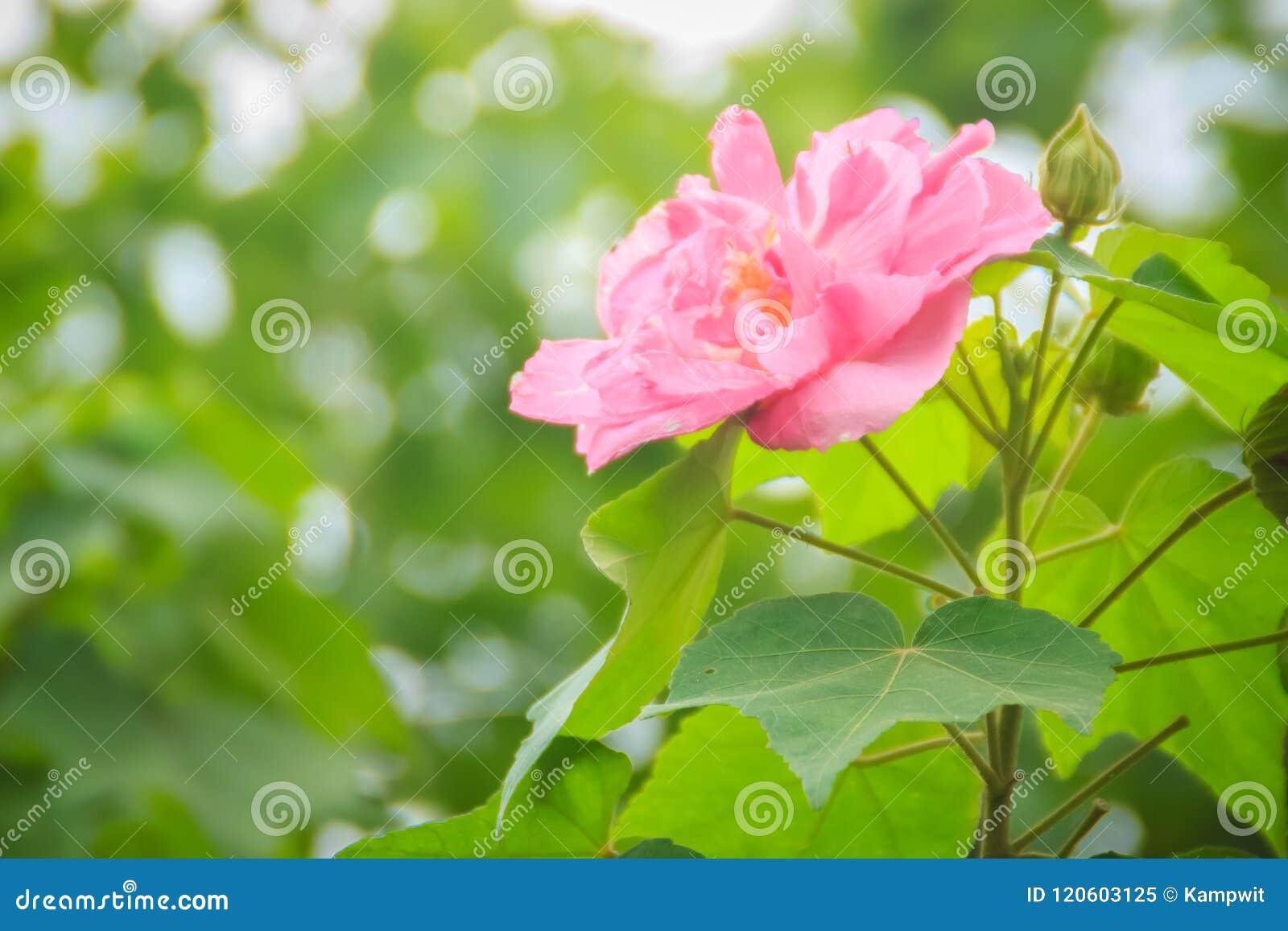 美丽的同盟玫瑰在绿色背景开花(木槿mutabilis),亦称同盟者起来了,迪克西rosemallow,