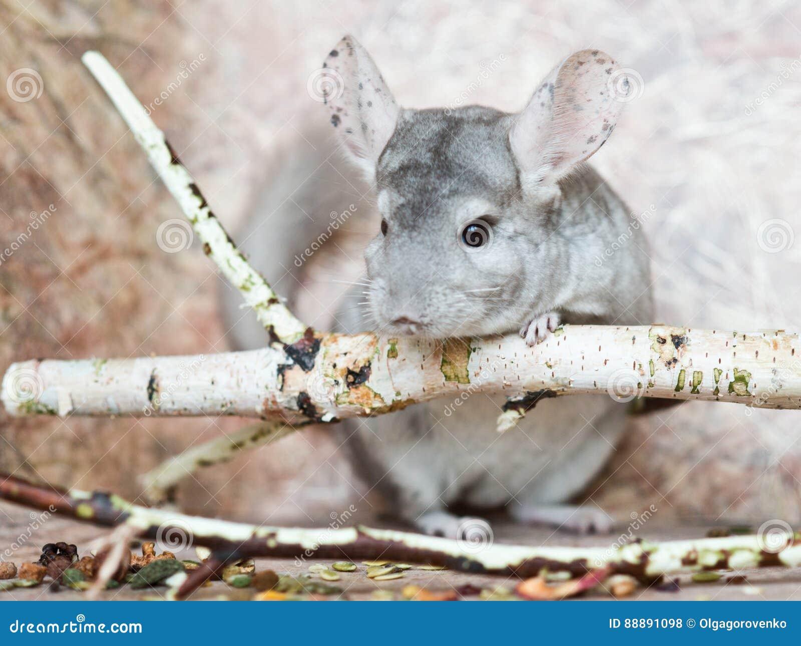 美丽的国内黄鼠坐倾斜在分支