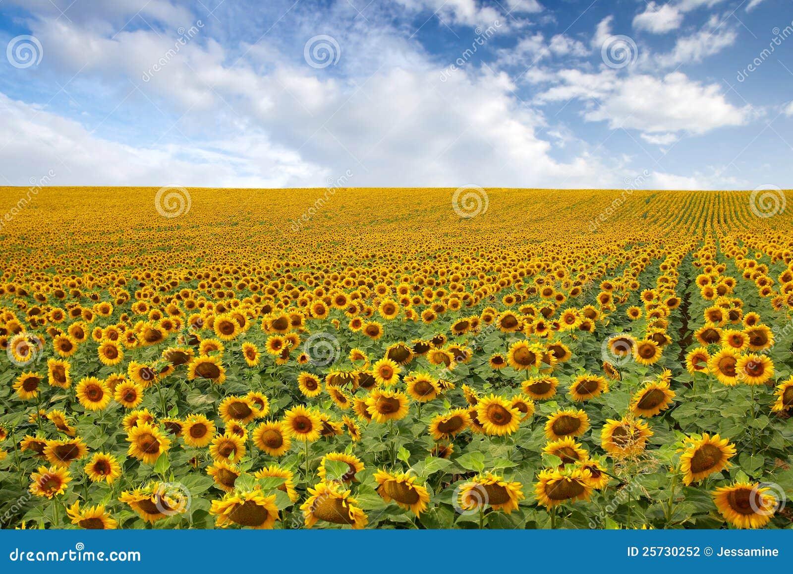 美丽的域向日葵
