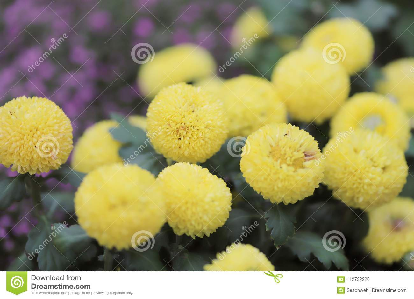 美丽的多彩多姿的大丽花花花束