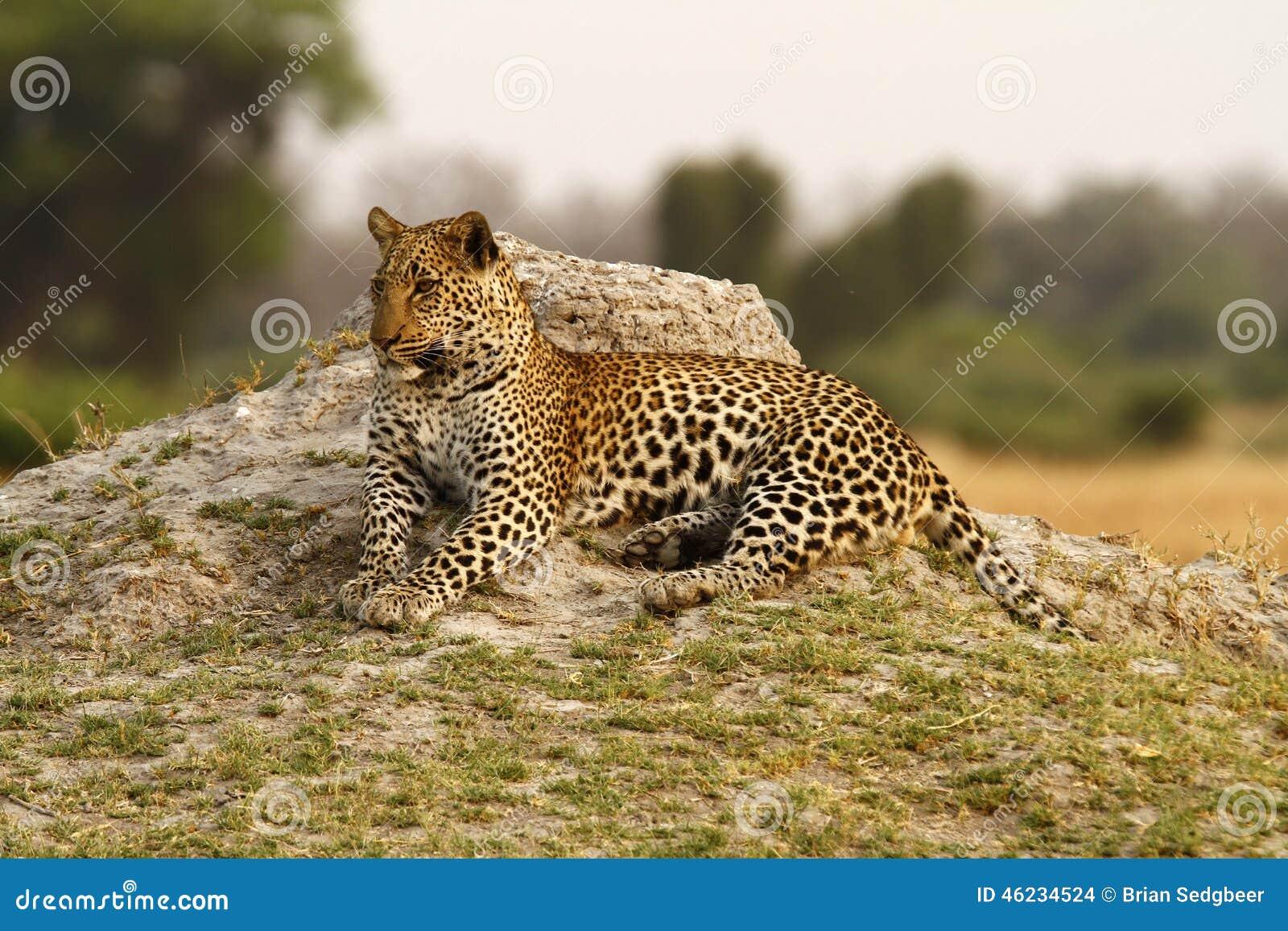 美丽的大汤姆豹子