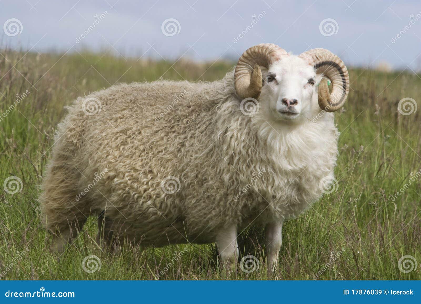 美丽的大角羊毛皮公羊丝毫羊毛