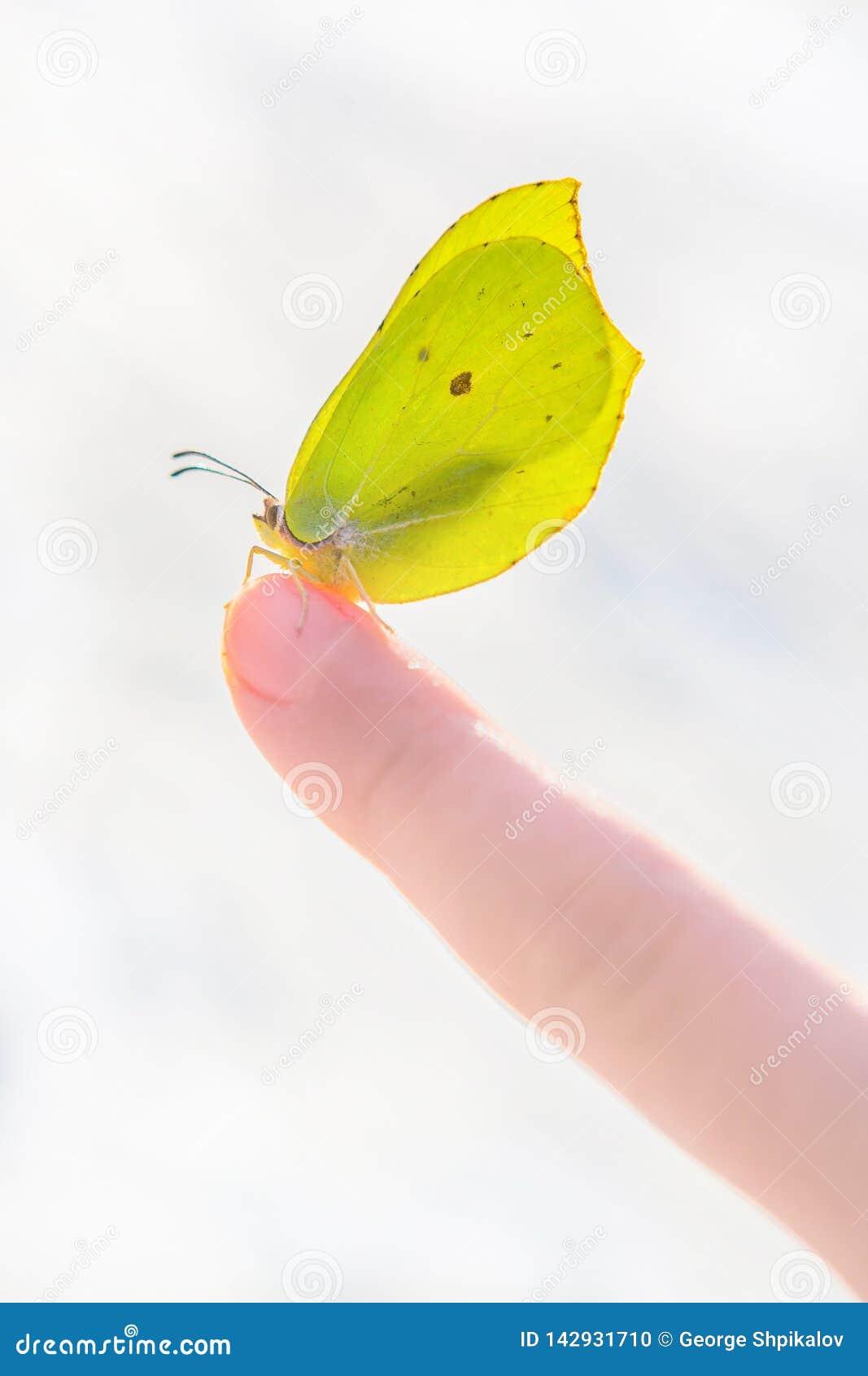 美丽的太阳在儿童的食指的被点燃的黄色蝴蝶反对被弄脏的多雪的背景