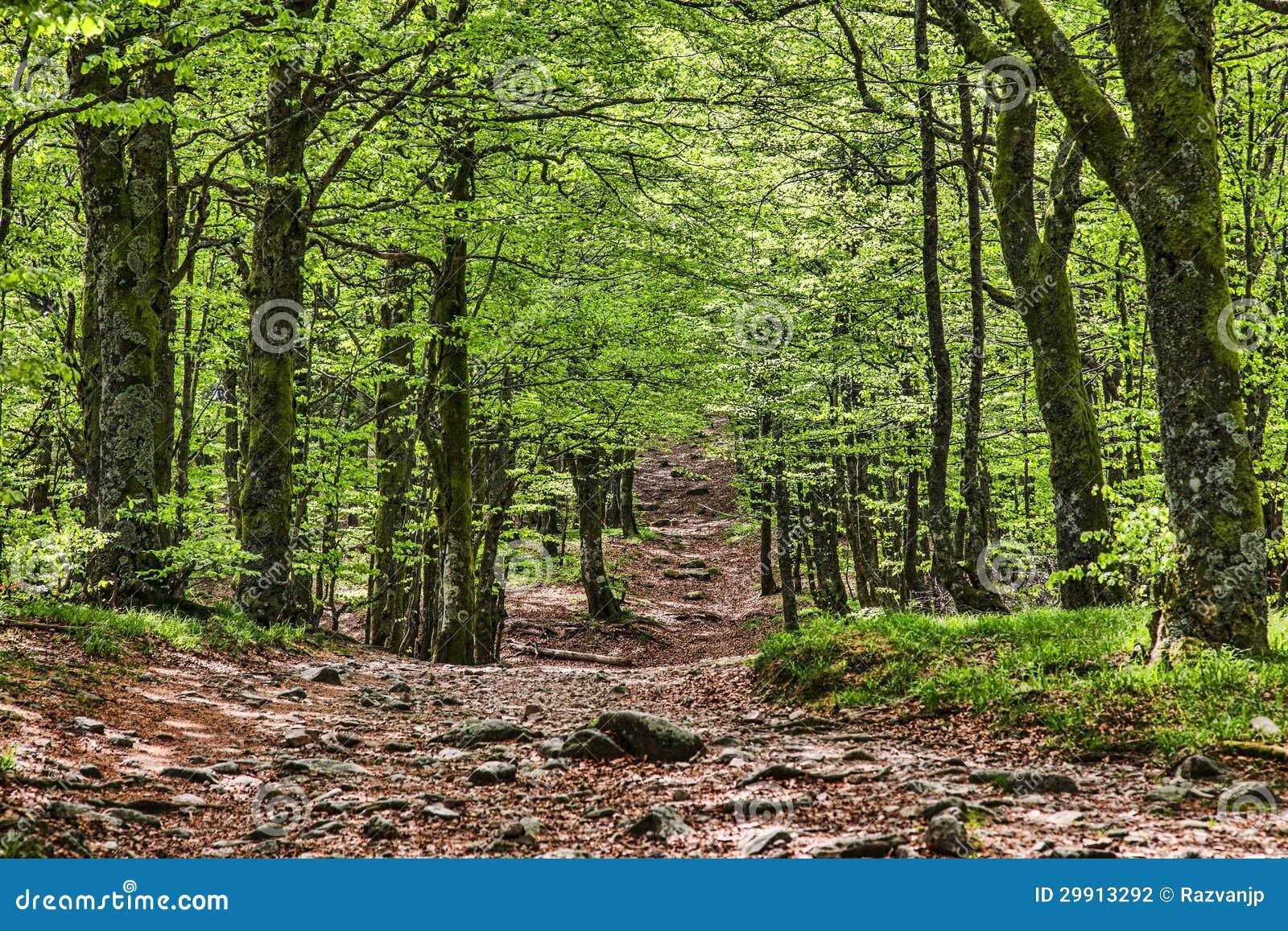 小径在一个美丽的绿色森林里
