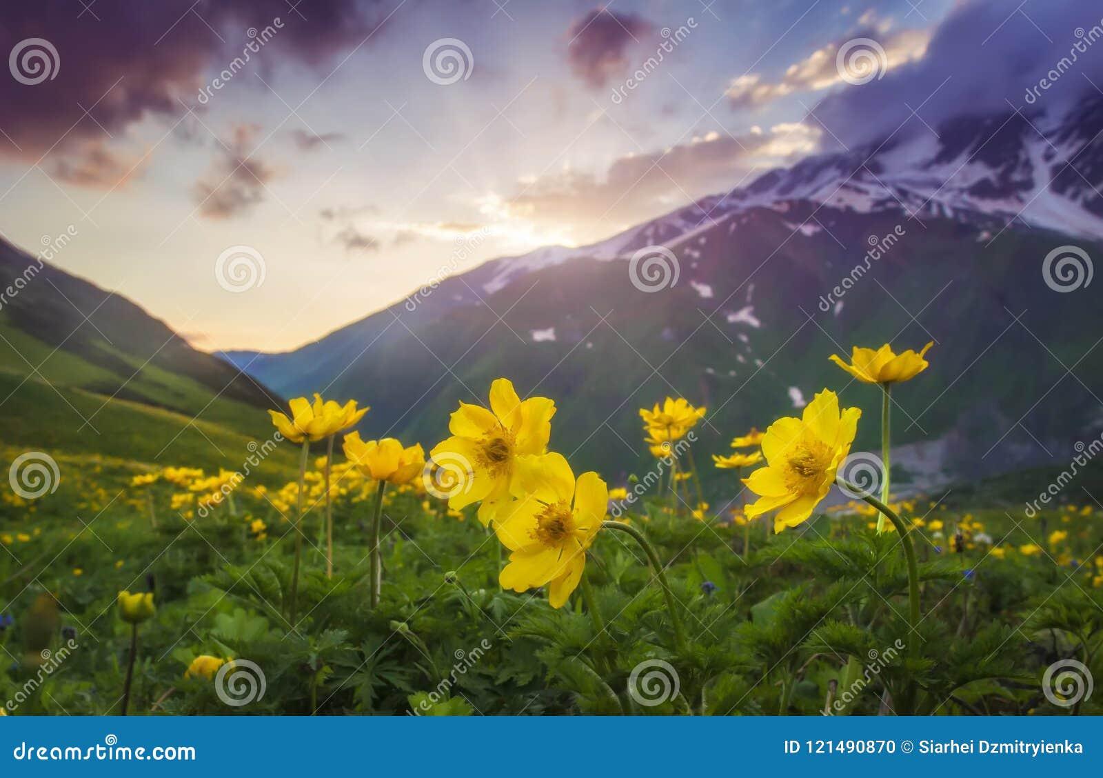 美丽的山风景在日落的 在前景的黄色花在晚上天空和小山背景的山草甸