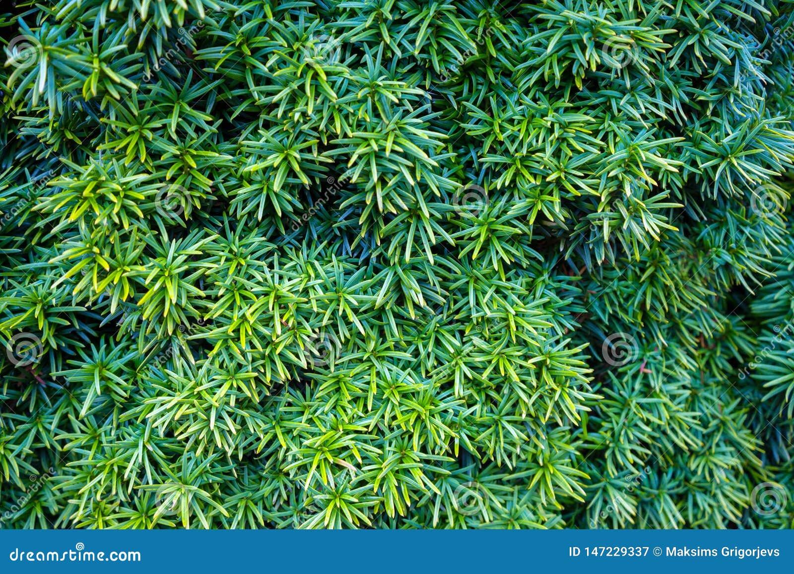 美丽的常青赤柏松树,罗汗松baccata在庭院里