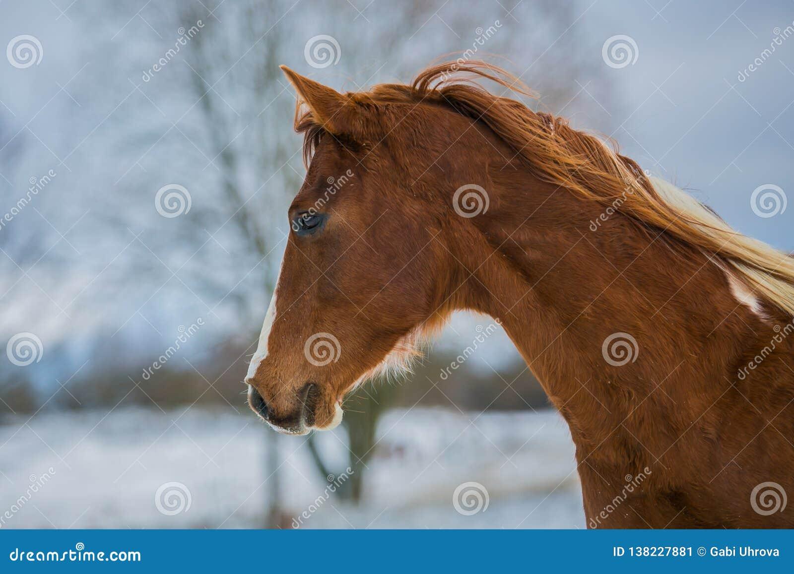 美丽的幼小棕色马头在一个冬日