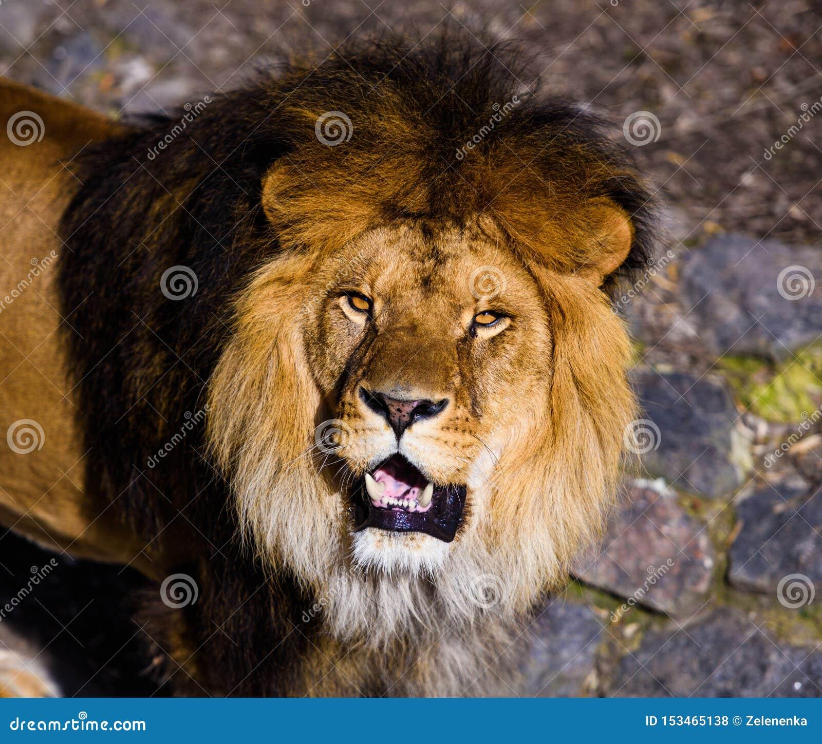 美丽的强大狮子