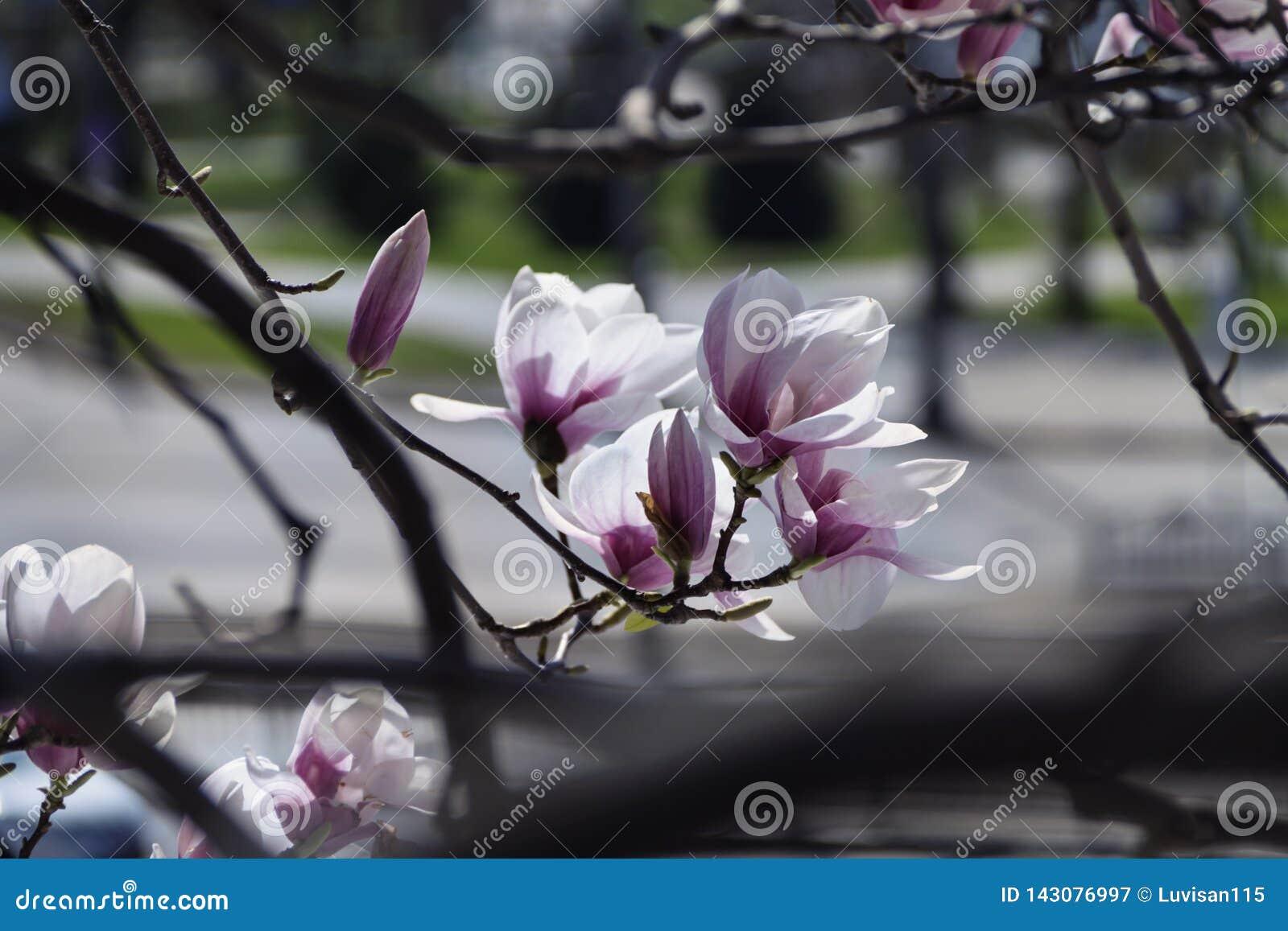 美丽的木兰在庭院造成一心情