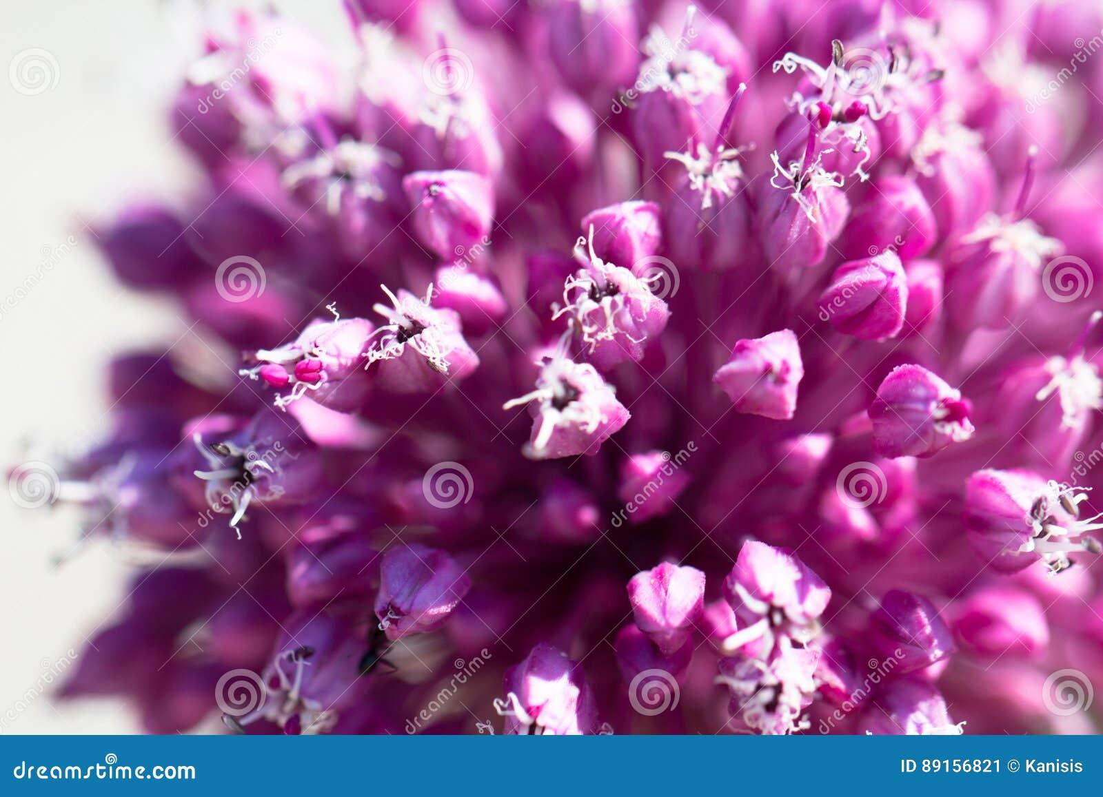 美丽的桃红色和紫色大蒜花开花当春天backgr