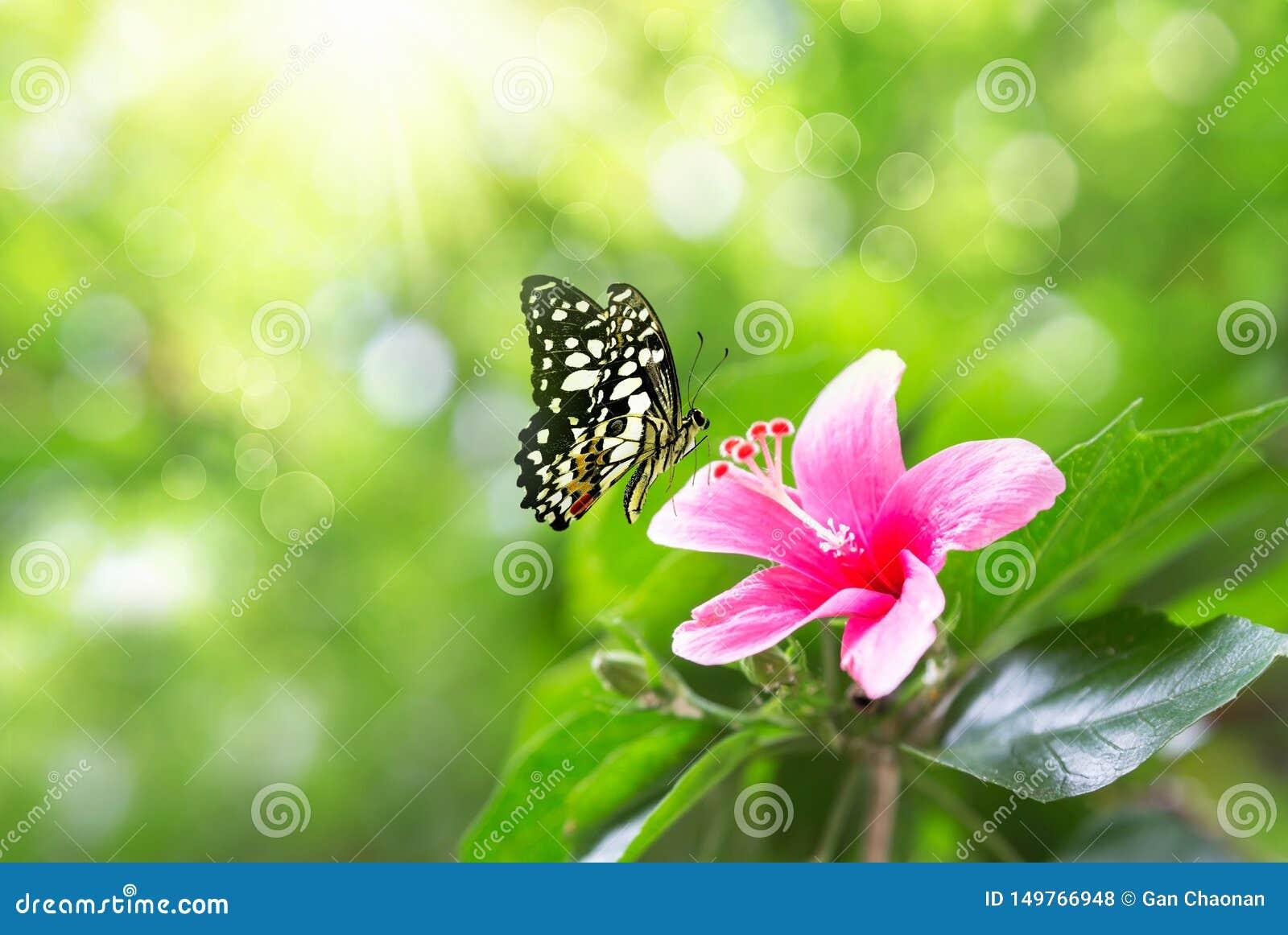 美丽的桃红色在自然和振翼的蝴蝶的花银莲花属新春天早晨在软的绿色背景,宏观