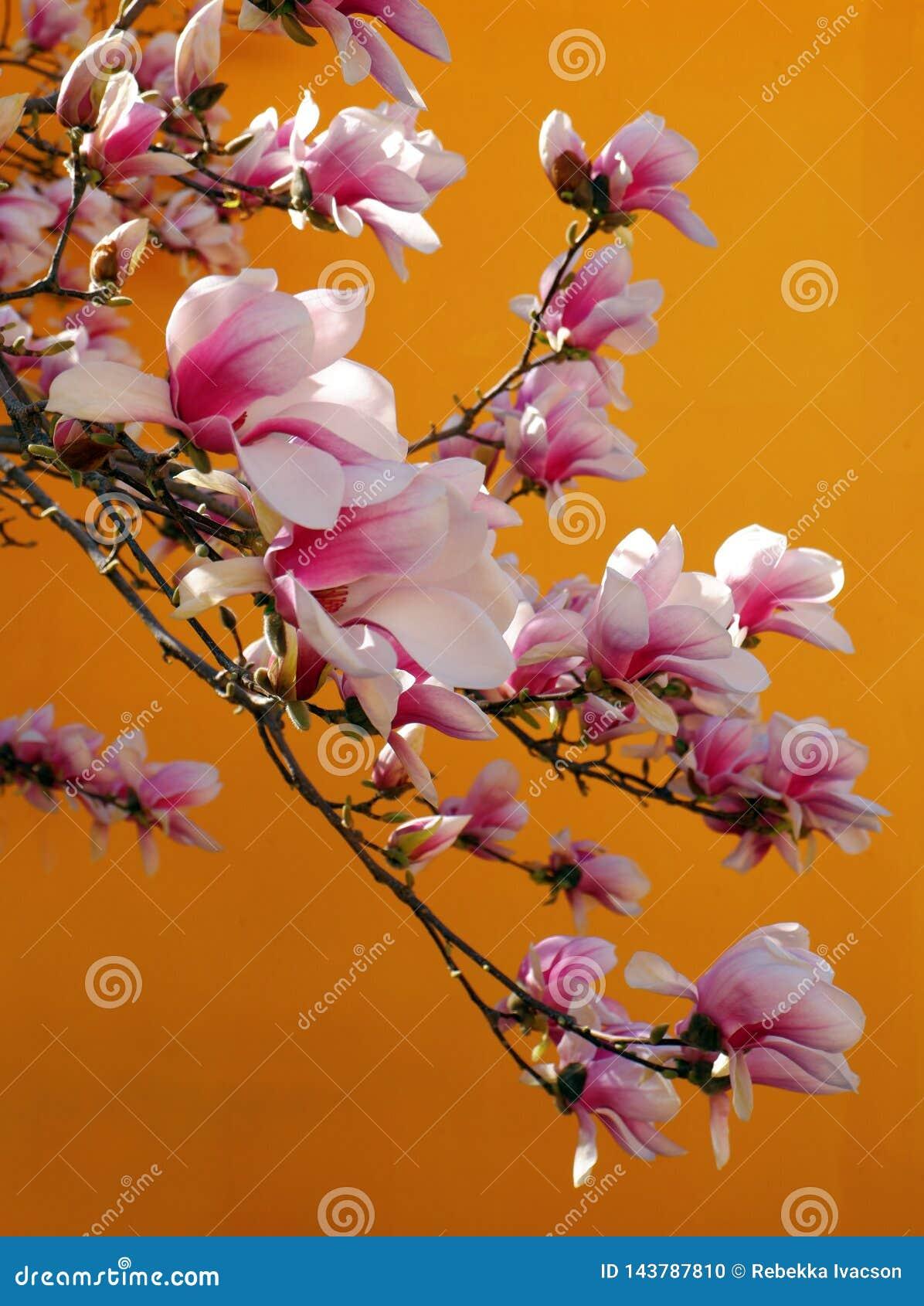 美丽的桃红色木兰花接近的看法反对橙色背景的