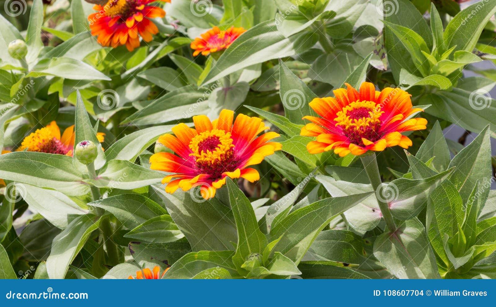 美丽的桔子和黄色百日菊属花在绽放宽射击