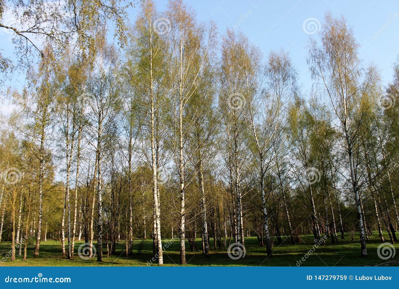 美丽的桦树树丛