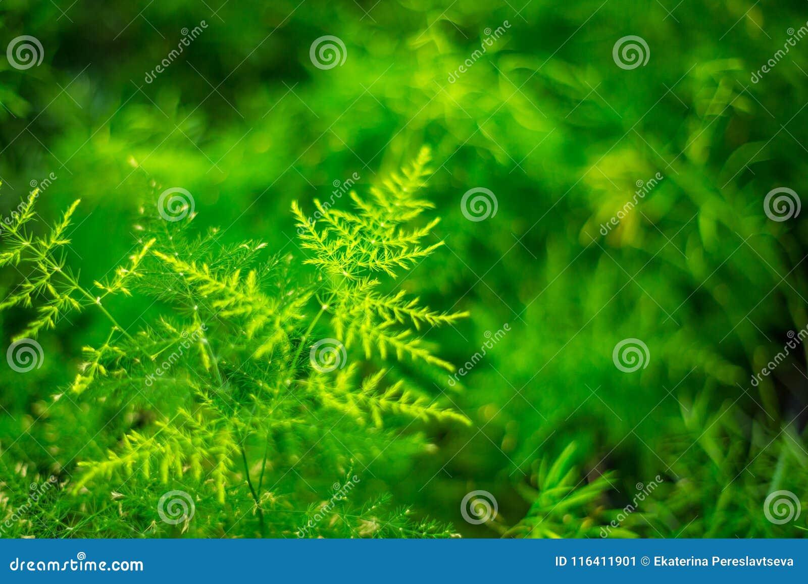 美丽的植物,文竹芦笋Setaceus 室内花