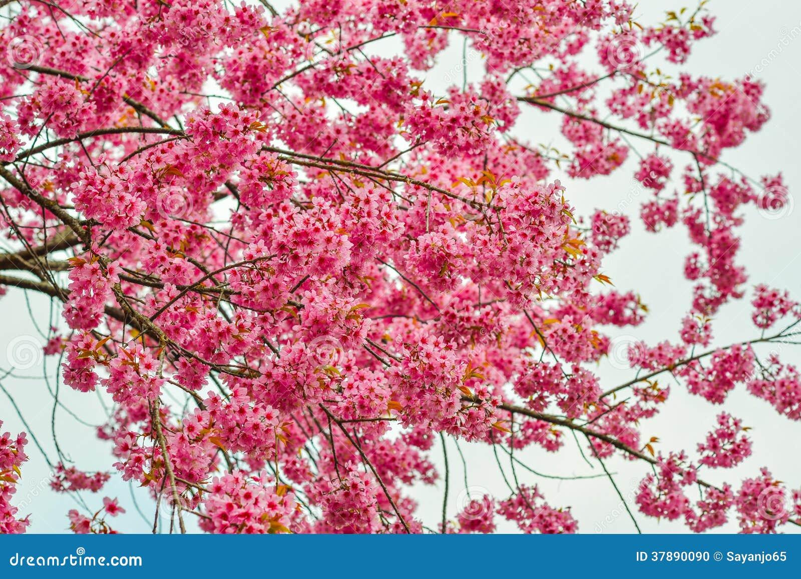 美丽的樱桃或佐仓开花