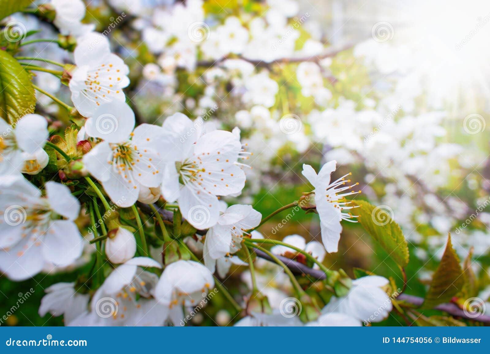 美丽的樱桃树开花在阳光下