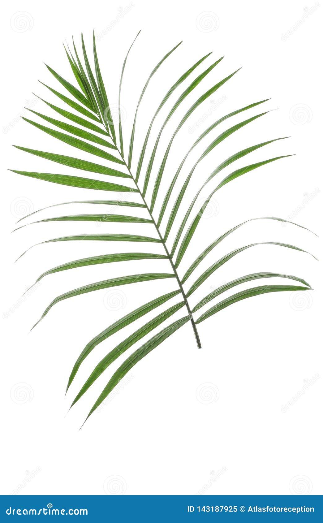 美丽的热带棕榈叶
