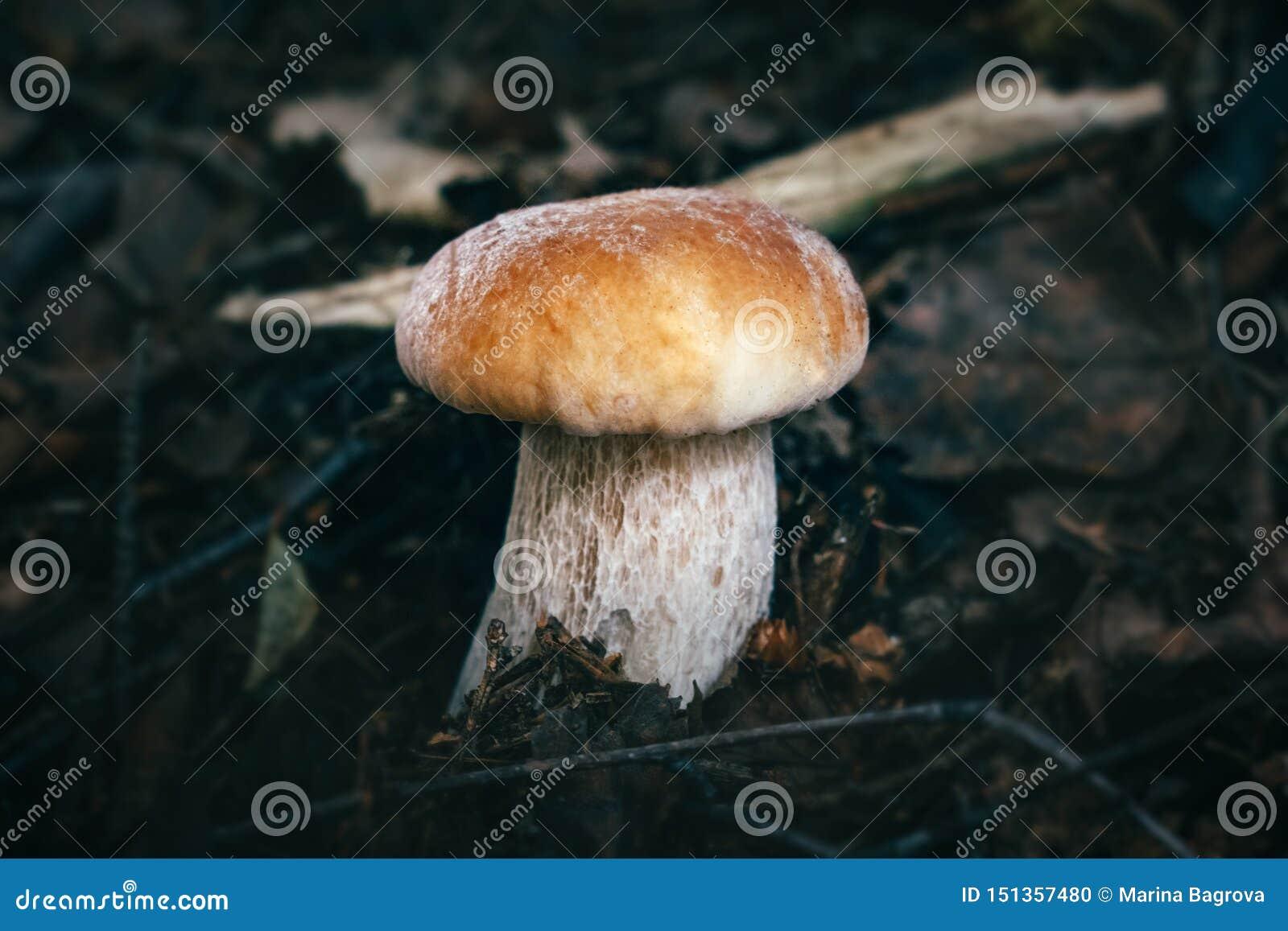 美丽的牛肝菌蕈类可食在森林特写镜头的黑暗的背景 可食的鲜美蘑菇便士小圆面包,porcini,等概率圆