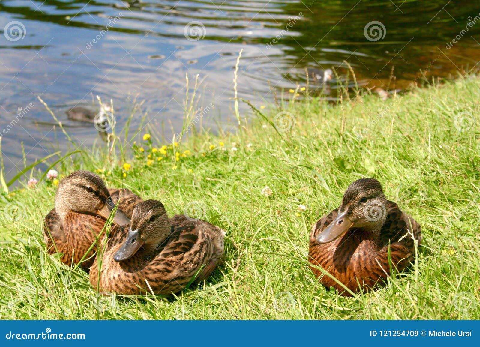 美丽的甜小的鸭子