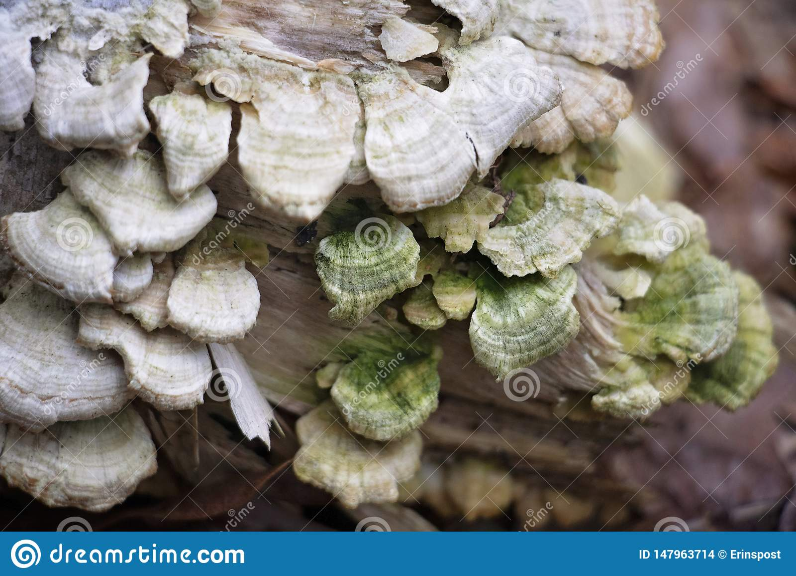 美丽的白色和绿色层孔菌