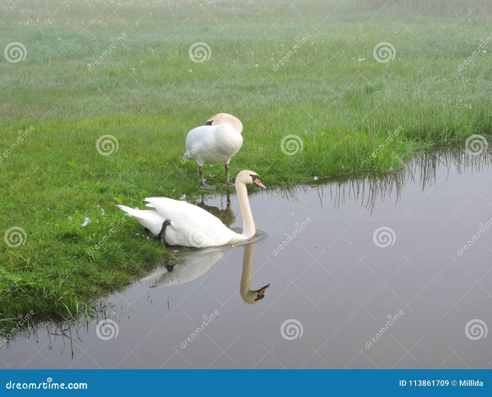 美丽的白色天鹅临近湖,立陶宛