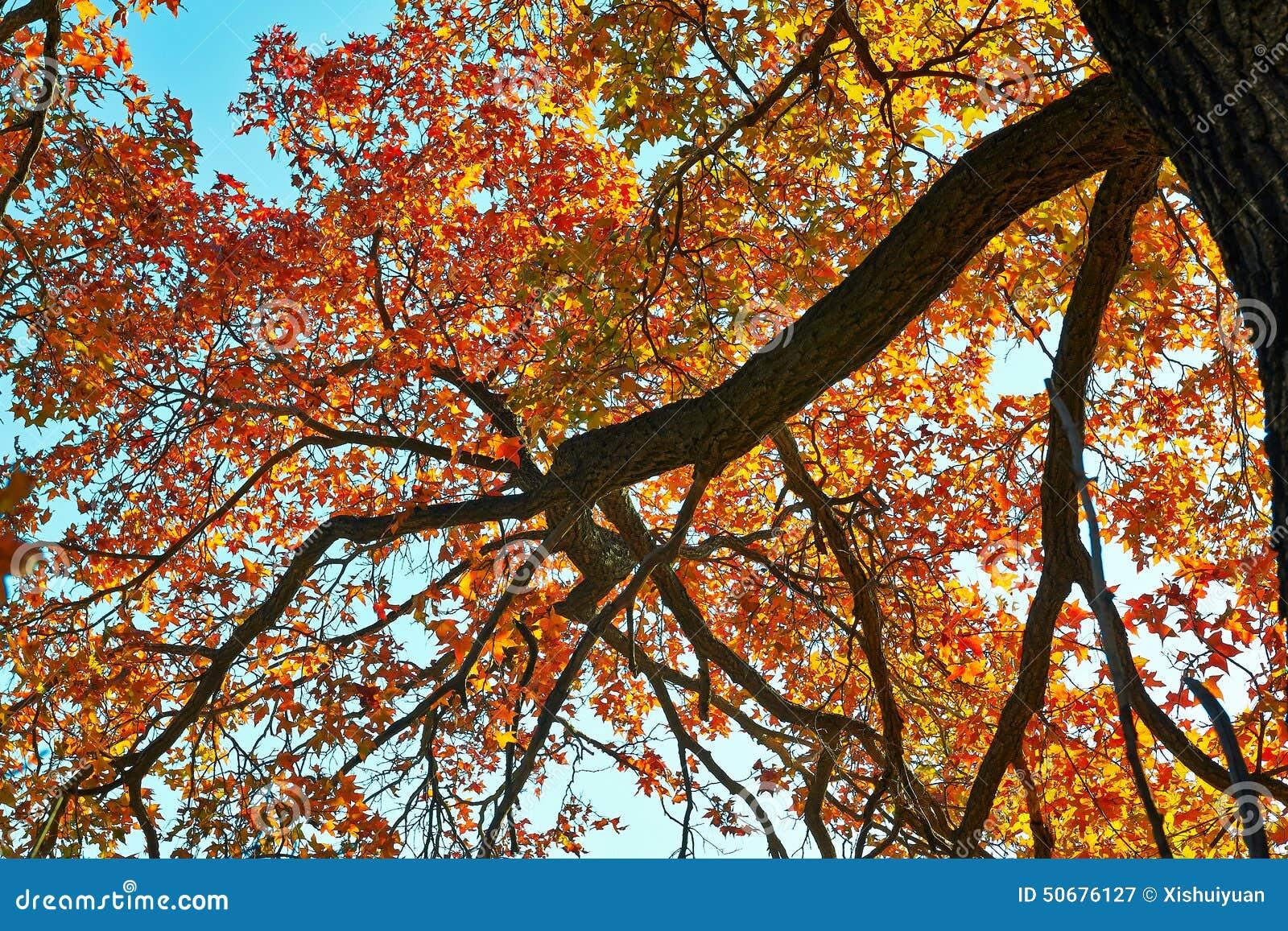 Download 美丽的秋叶 库存图片. 图片 包括有 公园, 红色, 格言, 金黄, 叶子, 槭树, 蓝色, ,并且, 自动机 - 50676127