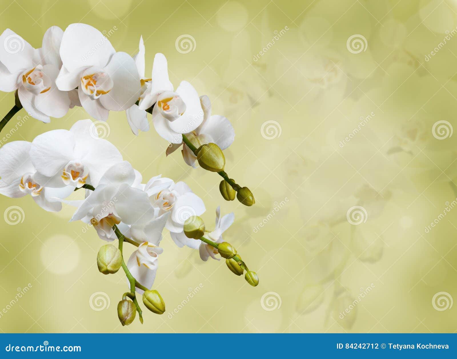 美丽的空白兰花