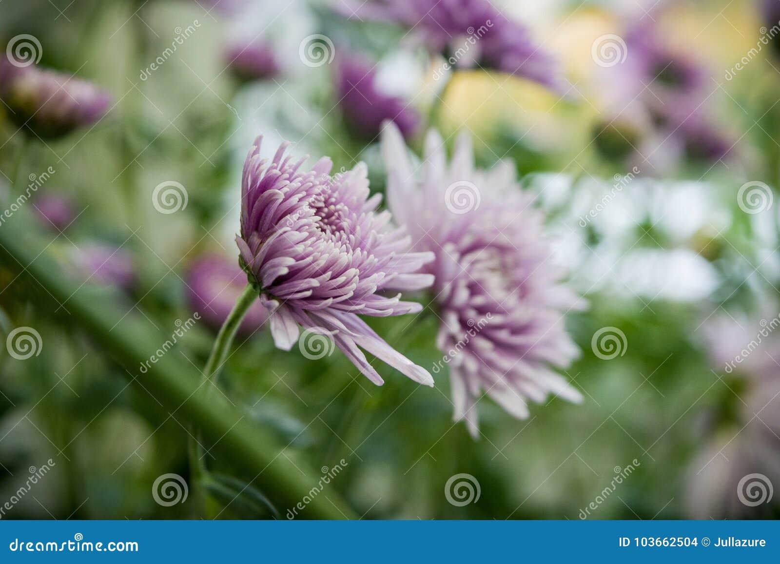 美丽的紫罗兰色菊花当背景图片
