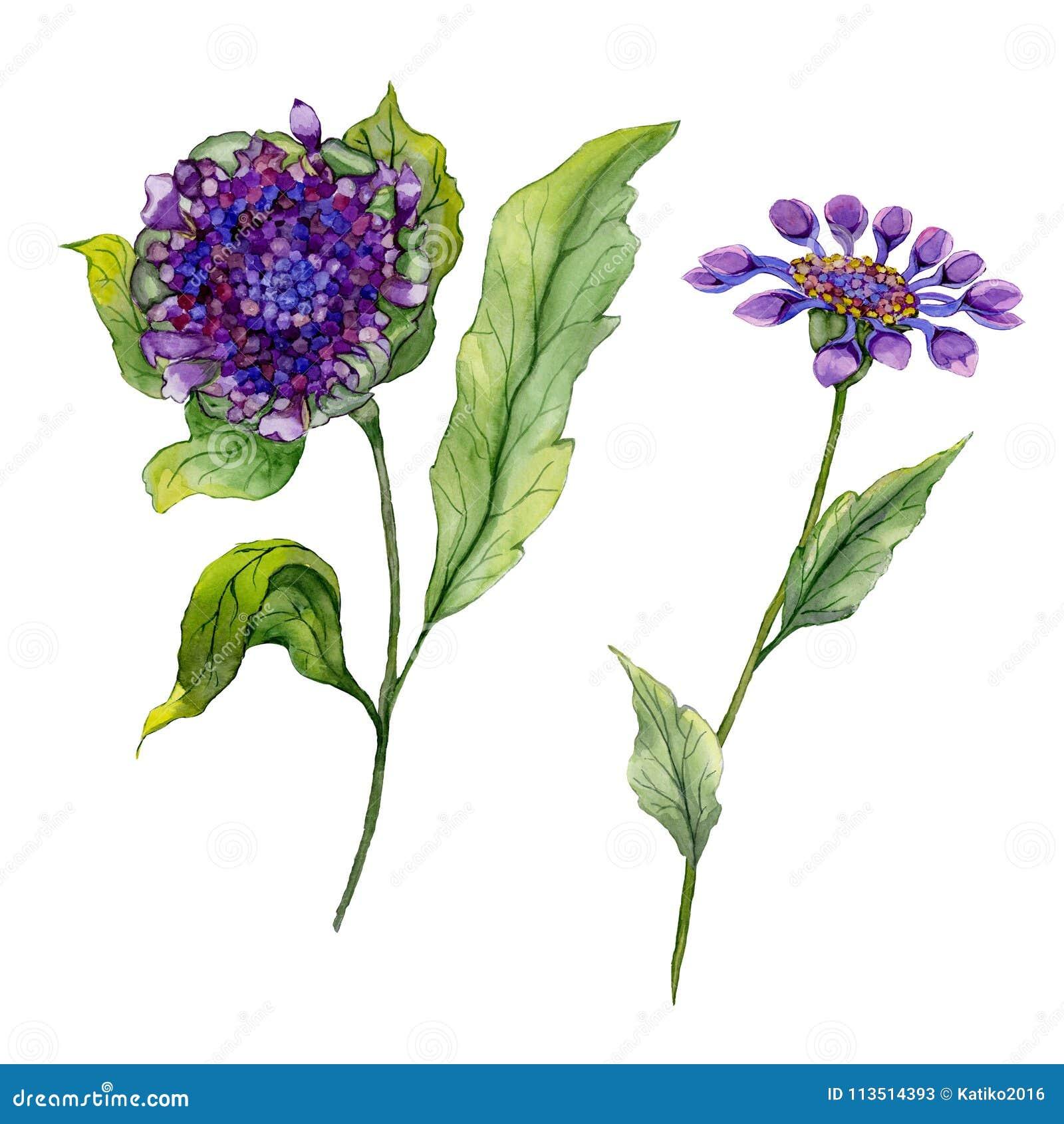 美丽的紫色在一个词根的osteospermum南非雏菊花与绿色叶子 背景查出的白色