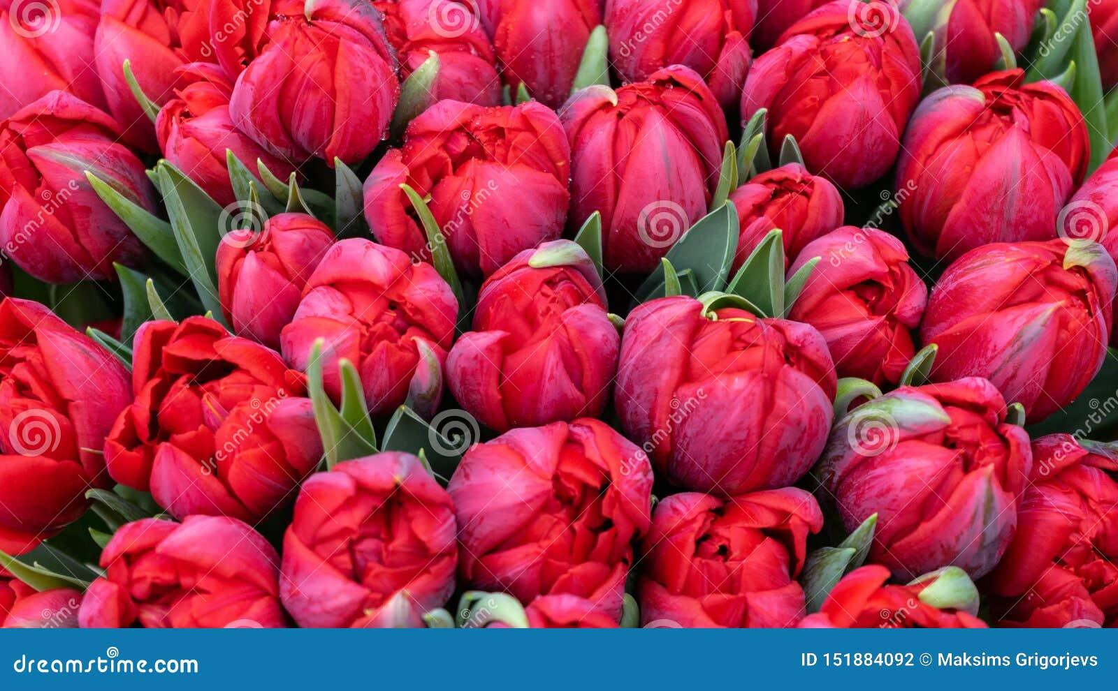 美丽的红色郁金香巨型花束作为背景的