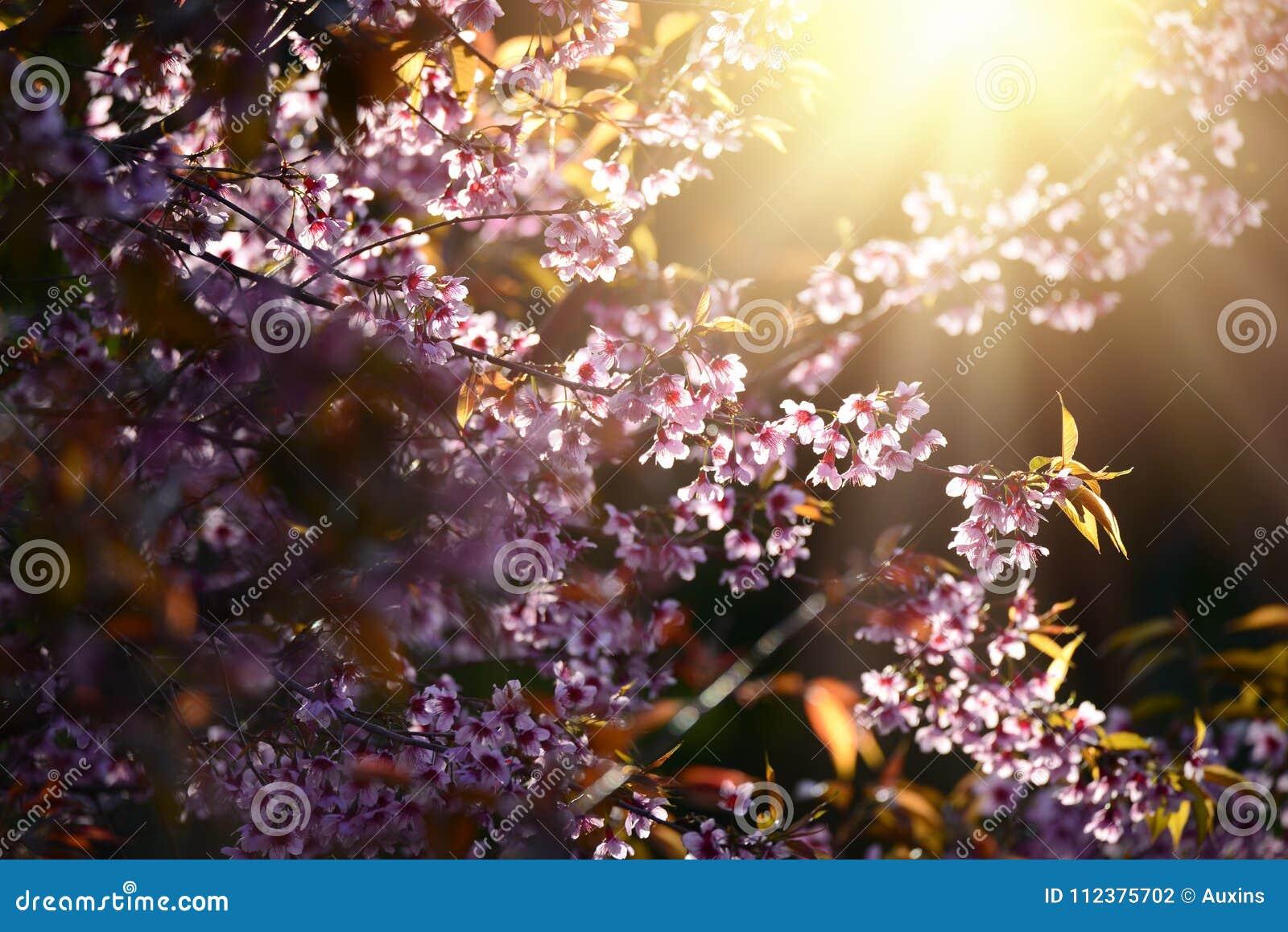 美丽的绽放桃红色樱花佐仓在早晨su开花