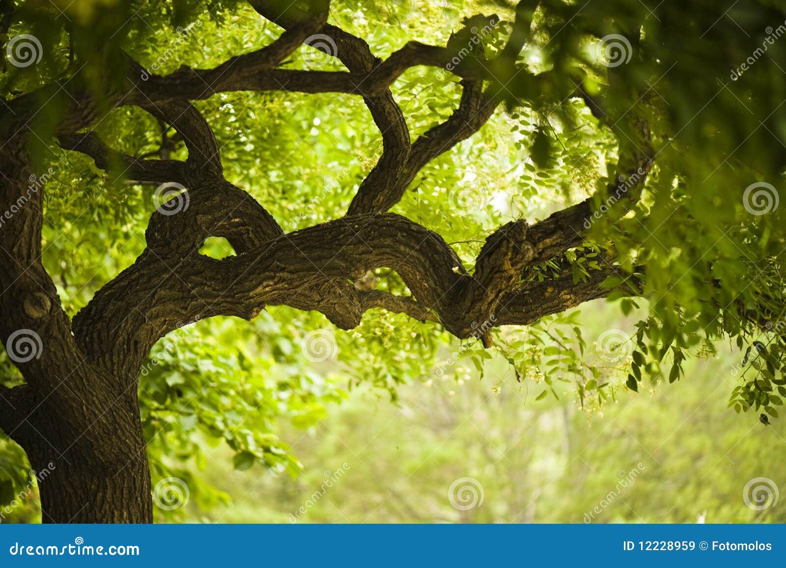 美丽的老结构树