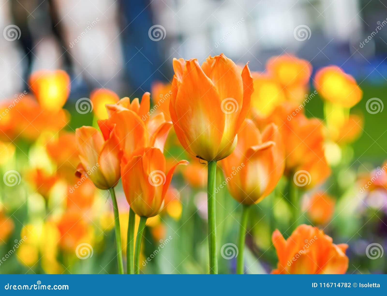 美丽的花园 明亮的郁金香在春天公园 与装饰植物的都市风景