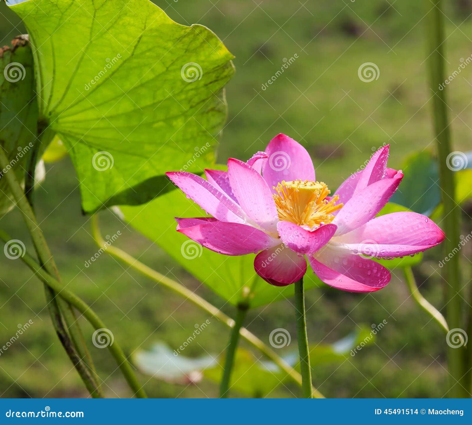 美丽的花莲花