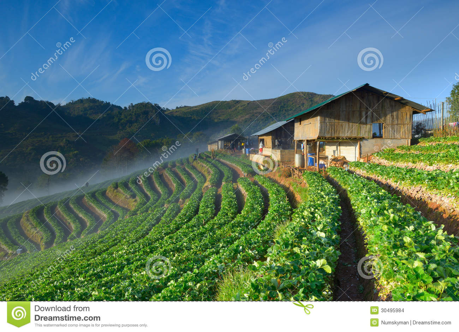 美丽的草莓农场和泰国农夫房子小山的