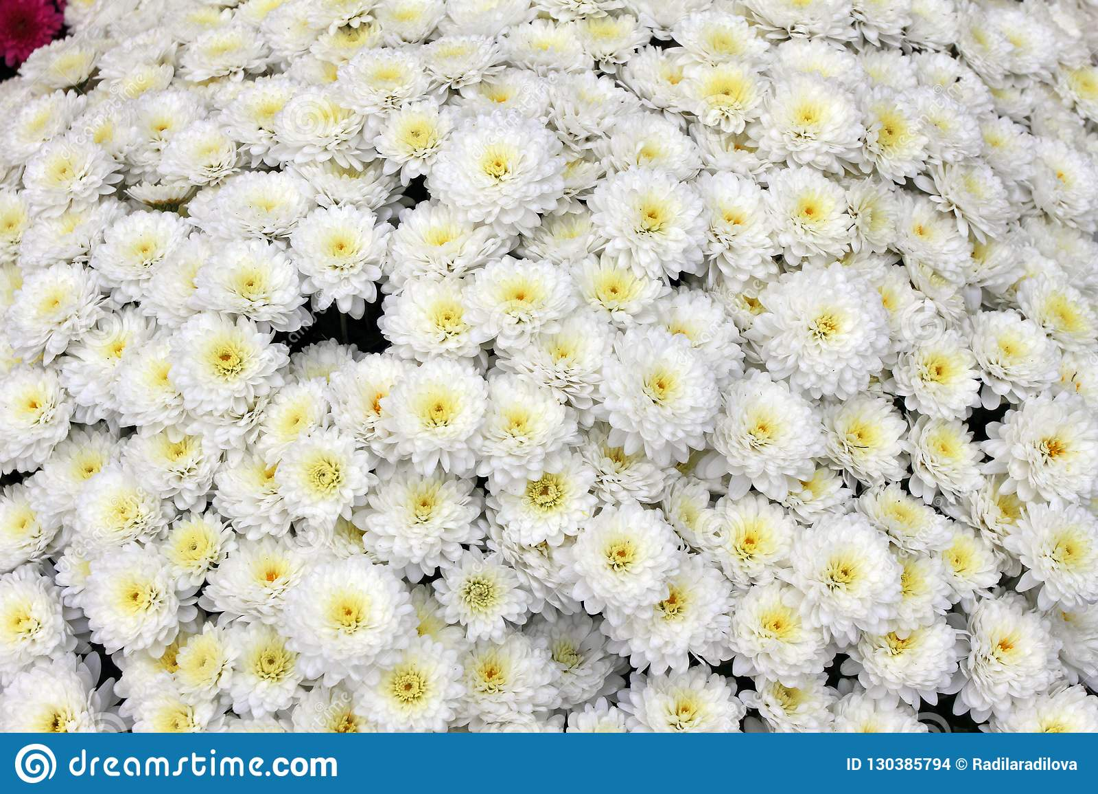 美丽的菊花花束开花户外 菊花在庭院里 五颜六色的花chrisanthemum 蝴蝶下落花卉花重点模式黄色