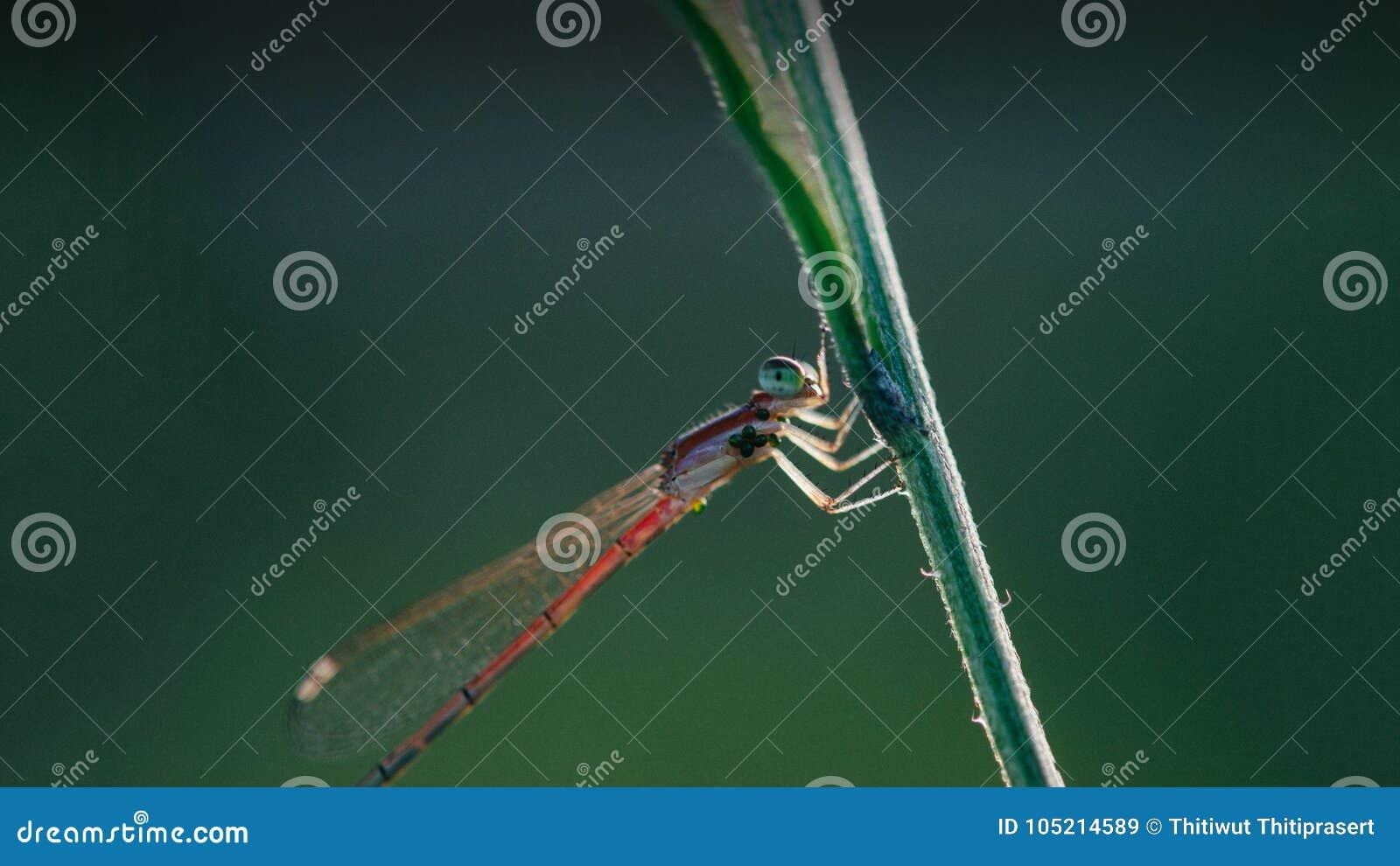 美丽的蜻蜓特写镜头射击中意的神色
