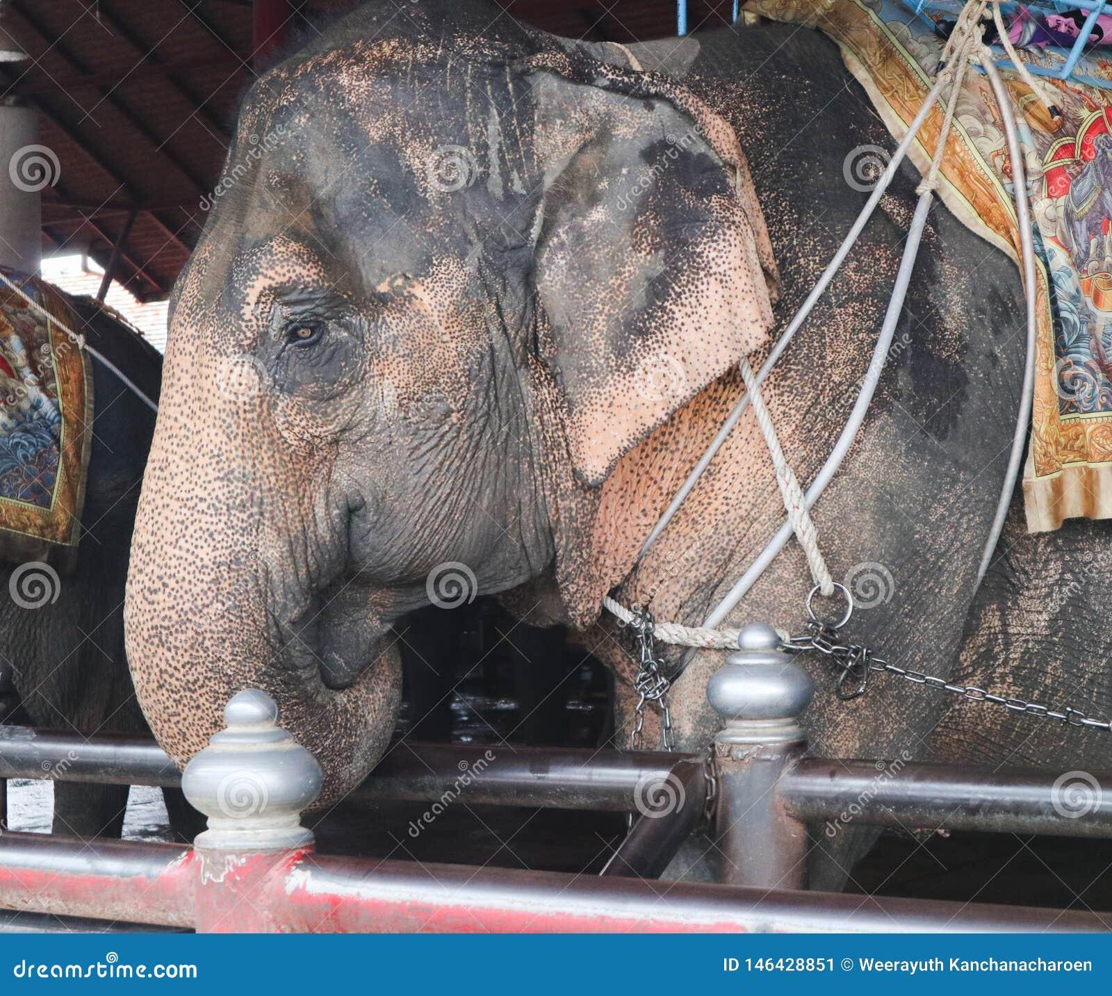 美丽的逗人喜爱的大象在庭院种田室外