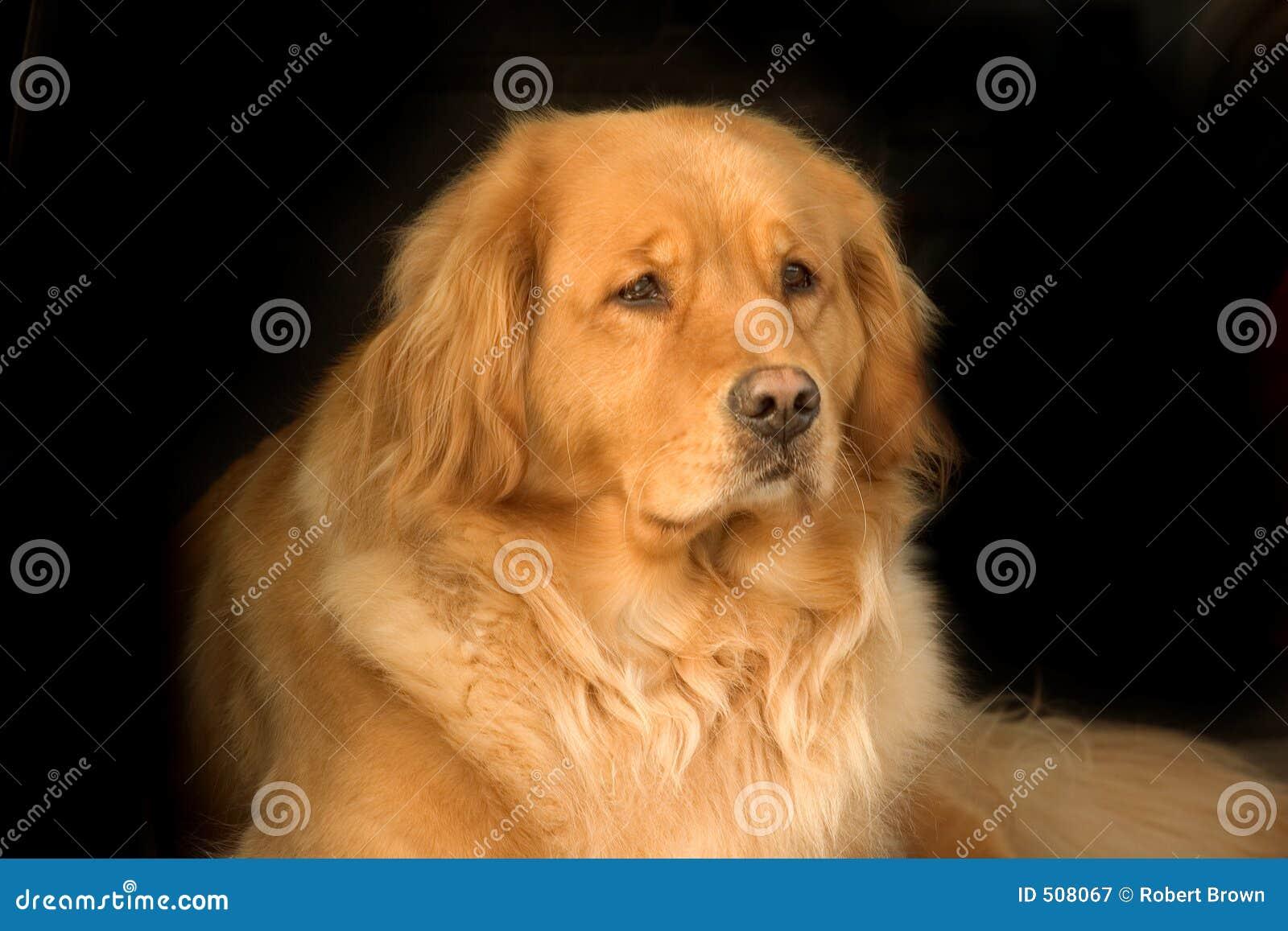 美丽的金毛猎犬